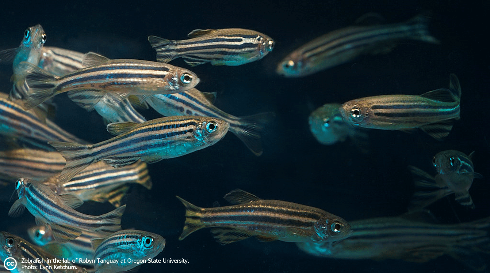 What are zebrafish?