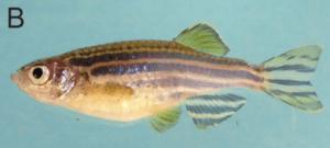 female zebrafish adult