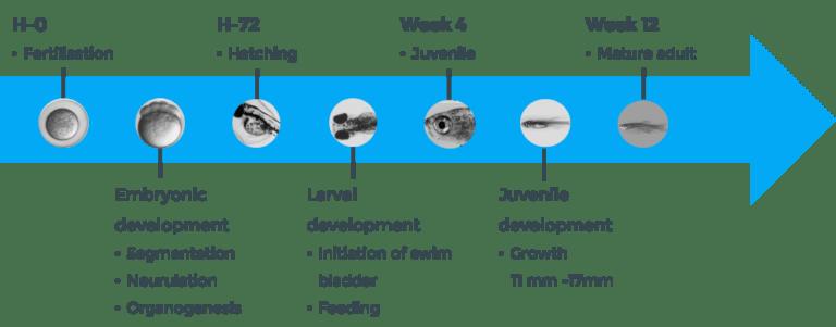 lifecycle of zebrafish