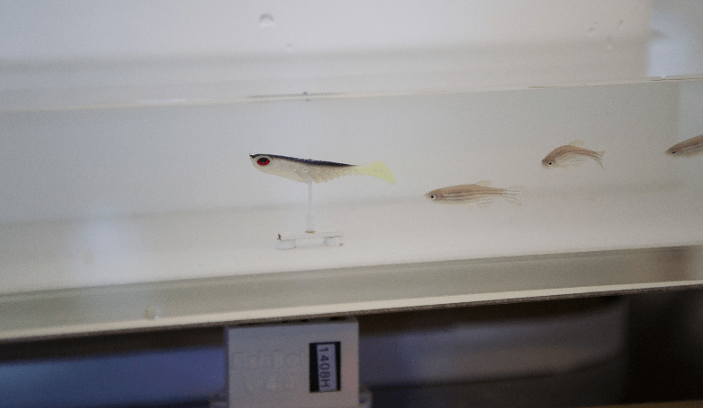 Studying zebrafish behaviour: robotics and automation