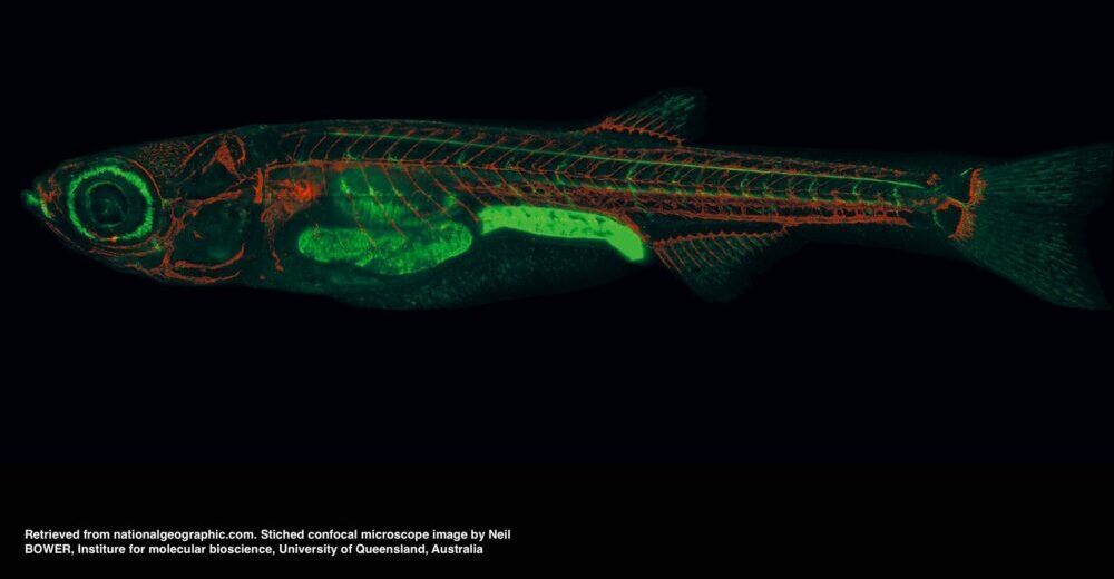 Morphological and phenotypic characteristics of zebrafish embryos