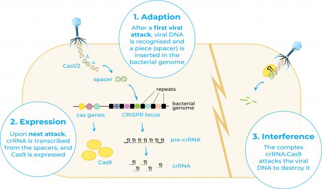 CRISPR cas as a immune system in bacteria