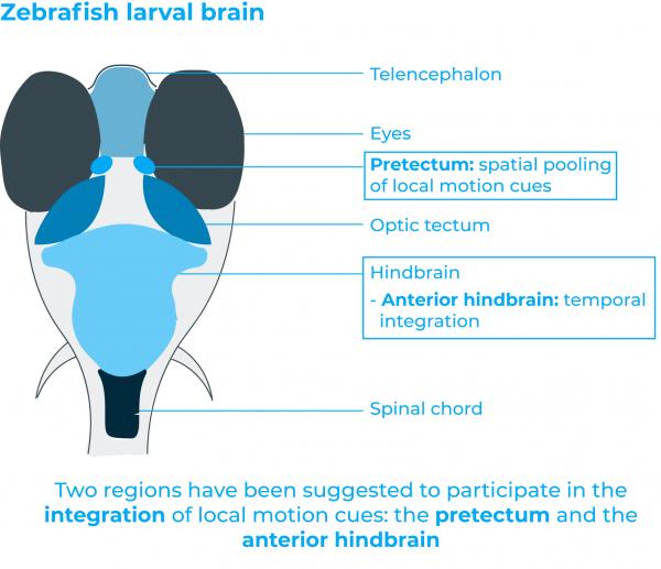 zebrafish brain